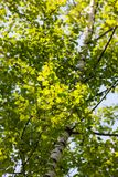 Spring birch foliage royalty free stock images