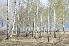 Spring birch forest Royalty Free Stock Image