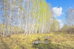 Spring birch forest Royalty Free Stock Photos