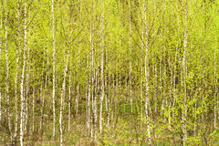 Spring birch forest Stock Photos