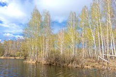 Spring birch forest Royalty Free Stock Photo