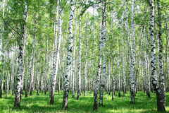 Spring birch forest Stock Images