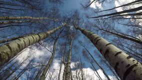 Spring birch forest in wind from beneath and clouds motion, time lapse 4K. Beautiful spring birch forest in wind from beneath and clouds motion on blue sky, time stock footage