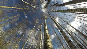 Spring birch forest in wind from beneath and clouds motion, time lapse 4K. Spring birch forest in wind from beneath and clouds motion on blue sky, time lapse 4K stock footage