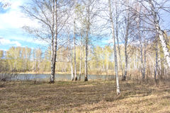 Spring birch forest Royalty Free Stock Images