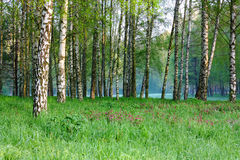 Spring birch grove Stock Photos
