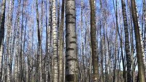 Spring. A birch grove
