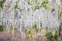 Spring birch grove with green leaves Royalty Free Stock Image