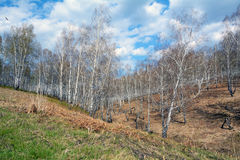 Spring birch grove Royalty Free Stock Photography