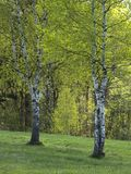 Spring Birch Grove in a Sunny Day stock image