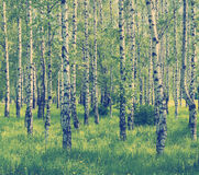 Spring birch grove Stock Photography