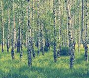 Spring birch grove Stock Photography