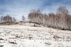 Spring Birch Stock Photography