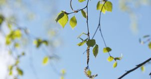 Spring birch leaves at sunny day. Wide photo royalty free stock images