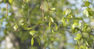Spring birch leaves at sunny day. Wide photo royalty free stock photography