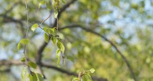 Spring birch leaves at sunny day. Wide photo stock photography