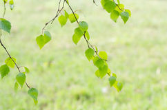Spring birch  leaves Stock Photo