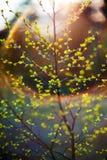 Spring birch leaves Stock Image
