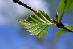 Spring Birch Tree. Budding leaf of a birch tree in the spring. Shallow depth of field Royalty Free Stock Photography