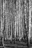 Spring birch trees black and white Royalty Free Stock Image