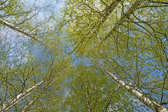 Spring birch trees Royalty Free Stock Photos