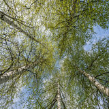 Spring birch trees Stock Images