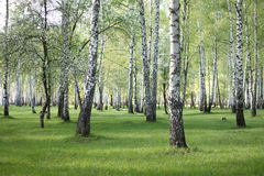 Spring birch trees in forest, beautiful birch grove, birch-wood Royalty Free Stock Photos