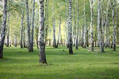 Spring birch trees in forest, beautiful birch grove, birch-wood Stock Photos