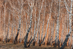 Spring birch trees in sunlight Stock Photo