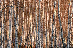 Spring birch trees in sunlight Royalty Free Stock Images