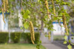 Birch twig with catkins background in spring. Spring. Birch twig with catkins and leaves background royalty free stock photography