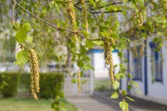 Birch twig with catkins background in spring. Spring. Birch twig with catkins and leaves background stock photos