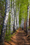Spring birch woods alley Stock Photo