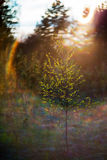 Spring birch Stock Photo
