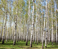 Spring birches Stock Photography