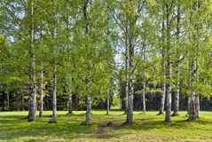 Spring birches circle Stock Photo