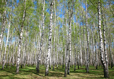 Spring birches with first greens Royalty Free Stock Images