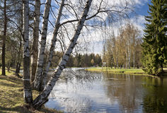 Spring birches next to the pond Royalty Free Stock Photography