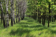 Spring birches and oaks. Spring alley from birches on the left side and oaks on the right side Royalty Free Stock Images