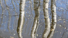 Spring birches trunks reflections on pond water stock video footage