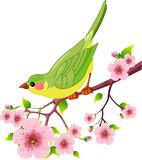 Spring bird. Cute bird sitting on blossom tree branch. Isolated on white background Royalty Free Stock Photos