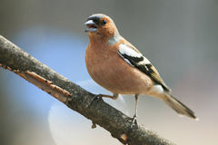 Spring bird Chaffinch in the Park on a branch and leaping singi Stock Photography