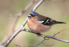 Spring bird Chaffinch sitting on a branch in the Park on a Sunny Royalty Free Stock Images