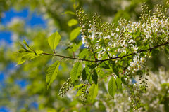 Spring bird cherry Stock Photography