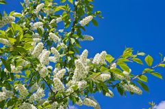 Spring bird cherry blossoms Royalty Free Stock Image