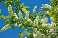 Spring bird cherry blossoms Royalty Free Stock Photos