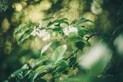 Spring. Bird cherry Prunus padus blooming in spring, swirly bokeh of helios old lens stock photography