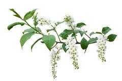 Spring bird-cherry tree blossoms Royalty Free Stock Photo