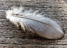 Spring, Bird Feather, Pigeon Spring Royalty Free Stock Photography