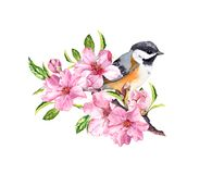 Spring bird on flowering branch with pink flowers of cherry, sakura, apple, almond flowers . Water color. Spring bird on flowering branch with pink flowers of vector illustration
